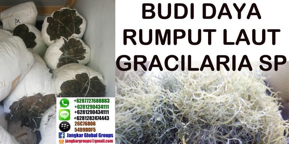 gracilaria sp