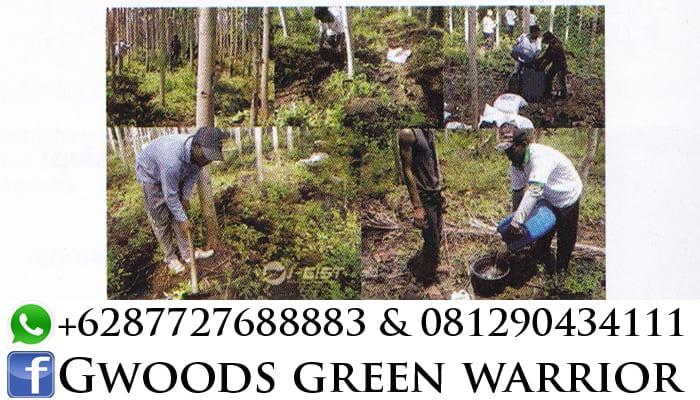 perawatan pohon jabon