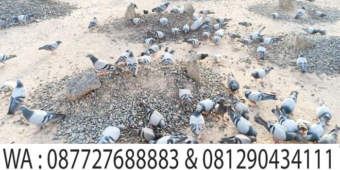 burung dara di makam baqi madinah